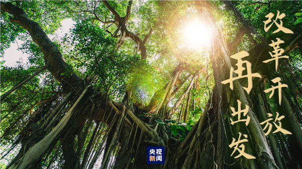 高山榕树1.jpg